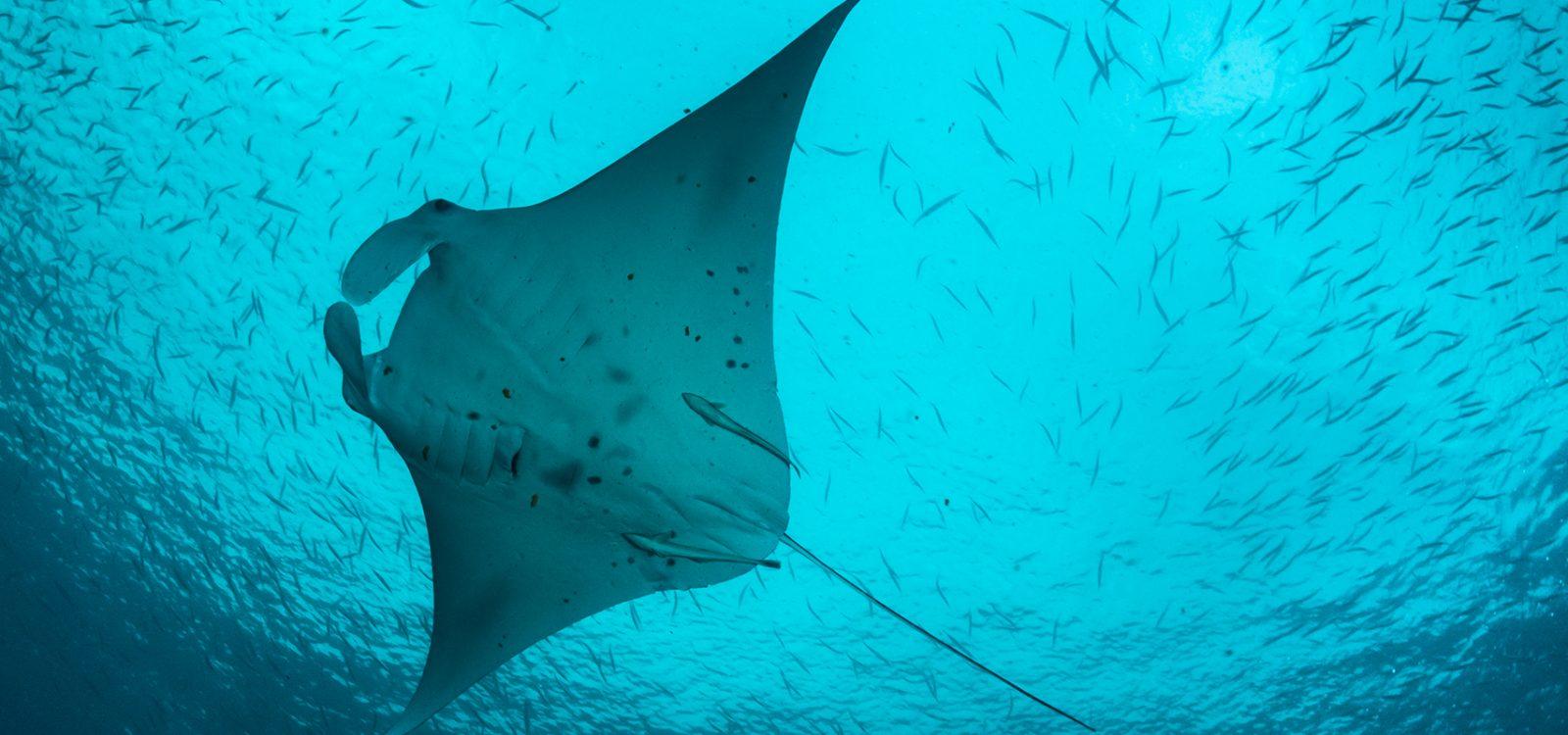 Manta ray – Palau Micronesia
